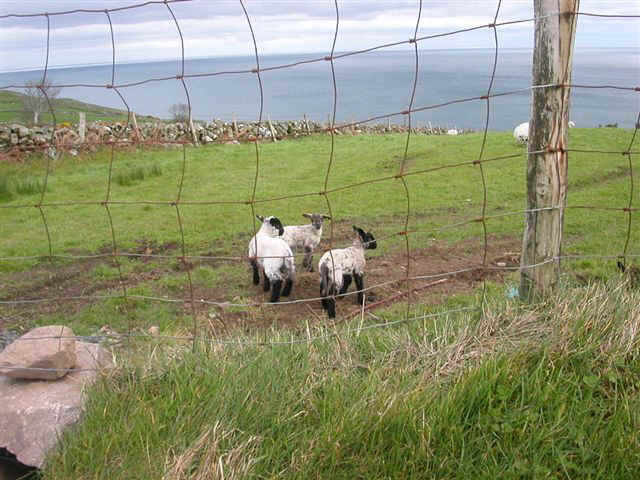070410 (42) DUB Northern Ireland Lambs.JPG (85397 bytes)