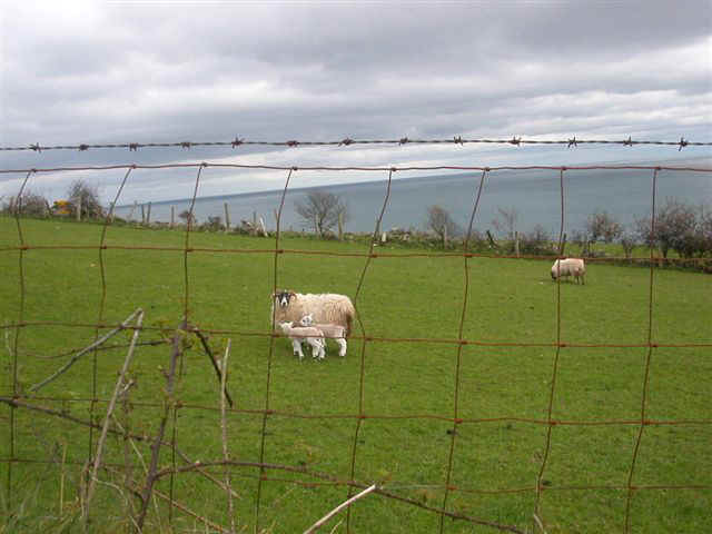 070410 (50) DUB Northern Ireland Lambs.JPG (55308 bytes)